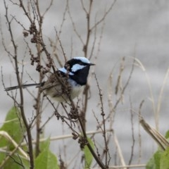 Malurus cyaneus (Superb Fairywren) at City Renewal Authority Area - 30 Sep 2020 by Alison Milton