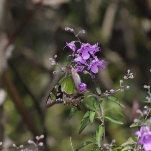 Graphium macleayanum at ANBG - 2 Oct 2020