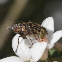 Eristalinus punctulatus (Native Drone Fly) at Higgins, ACT - 28 Sep 2020 by AlisonMilton