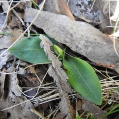Chiloglottis valida (Large Bird Orchid) at Namadgi National Park - 2 Oct 2020 by Liam.m