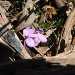 Tetratheca bauerifolia (Heath pink-bells) at Namadgi National Park - 2 Oct 2020 by Liam.m