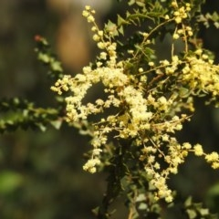 Acacia pravissima (Wedge-leaved Wattle) at Namadgi National Park - 2 Oct 2020 by Liam.m