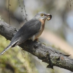 Cacomantis flabelliformis (Fan-tailed Cuckoo) at Namadgi National Park - 2 Oct 2020 by Liam.m
