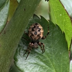 ARANEIDAE (Unidentified Orb weaver) at Berry, NSW - 25 Sep 2020 by Username279