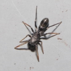 Myrmarachne sp. (genus) (Unidentified Ant-mimic jumping spider) at ANBG - 2 Oct 2020 by TimL