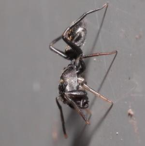 Myrmarachne sp. (genus) at ANBG - 2 Oct 2020