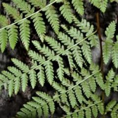 Hypolepis muelleri (Harsh Ground Fern, Swamp Bracken) at Fitzroy Falls, NSW - 2 Oct 2020 by plants