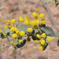 Acacia cultriformis (Knife Leaf Wattle) at Dryandra St Woodland - 2 Oct 2020 by ConBoekel