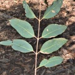 Angophora floribunda (Apple, Rough-barked Apple) at Wingecarribee Local Government Area - 2 Oct 2020 by plants