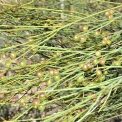 Leptomeria acida (Native Currant, Sour Currant Bush) at Wingecarribee Local Government Area - 2 Oct 2020 by plants