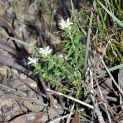 Rhytidosporum procumbens (White Rhytidosporum) at Wingecarribee Local Government Area - 2 Oct 2020 by plants