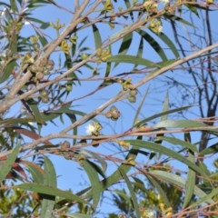 Eucalyptus stricta at Wingecarribee Local Government Area - 2 Oct 2020 by plants