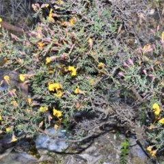 Dillwynia ramosissima (Bushy parrot-pea) at Wingecarribee Local Government Area - 2 Oct 2020 by plants