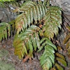 Todea barbara (King fern) at - 2 Oct 2020 by plants