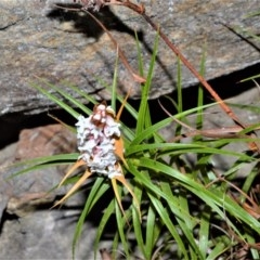 Dracophyllum secundum at Wingecarribee Local Government Area - 2 Oct 2020 by plants