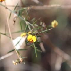 Daviesia ulicifolia (TBC) at Moruya, NSW - 2 Oct 2020 by LisaH
