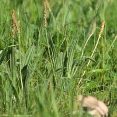 Plantago varia (Native Plaintain) at Wodonga - 2 Oct 2020 by Kyliegw