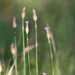 Petrorhagia sp. at Wodonga - 2 Oct 2020 by Kyliegw