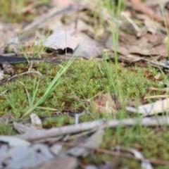 Unidentified Moss, Lichen, Liverwort, etc (TBC) at Wodonga - 2 Oct 2020 by Kyliegw