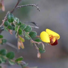Bossiaea buxifolia (Bush Pea) at Dryandra St Woodland - 2 Oct 2020 by ConBoekel