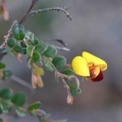 Bossiaea buxifolia (Bush Pea) at Dryandra St Woodland - 2 Oct 2020 by ConBoekel