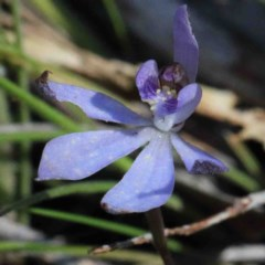 Cyanicula caerulea (Blue fingers) at Dryandra St Woodland - 2 Oct 2020 by ConBoekel