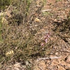Stylidium graminifolium at Gossan Hill - 2 Oct 2020