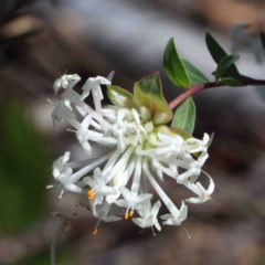 Pimelea linifolia (Slender Rice Flower) at Dryandra St Woodland - 2 Oct 2020 by ConBoekel