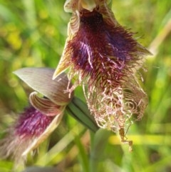 Calochilus robertsonii (Purplish Beard Orchid) at West Albury, NSW - 26 Sep 2020 by ClaireSee