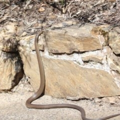 Pseudonaja textilis (Eastern Brown Snake) at ANBG - 2 Oct 2020 by Tim L
