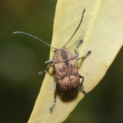 Cadmus (Cadmus) gigas (Leaf beetle) at ANBG - 2 Oct 2020 by TimL