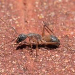 Camponotus consobrinus (Banded sugar ant) at ANBG - 2 Oct 2020 by Tim L