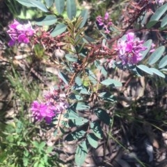 Indigofera australis subsp. australis (Australian Indigo) at Kambah, ACT - 2 Oct 2020 by George
