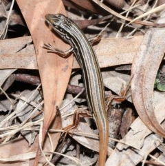 Ctenotus taeniolatus (Copper-tailed Skink) at ANBG - 2 Oct 2020 by Tim L