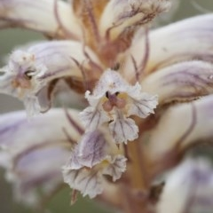 Orobanche minor (Lesser Broomrape) at Illilanga & Baroona - 27 Nov 2010 by Illilanga