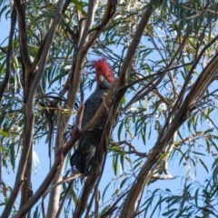 Callocephalon fimbriatum (Gang-gang Cockatoo) at Penrose State Forest - 13 Jul 2020 by NigeHartley