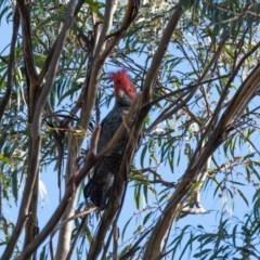 Callocephalon fimbriatum (Gang-gang Cockatoo) at Bundanoon, NSW - 13 Jul 2020 by NigeHartley