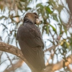 Calyptorhynchus lathami (Glossy Black-Cockatoo) at Wingello - 21 Jul 2020 by NigeHartley