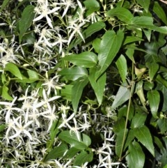 Clematis glycinoides (Headache Vine) at Manchester Square - 2 Oct 2020 by plants