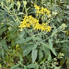 Senecio linearifolius (Fireweed Groundsel, Fireweed) at Wingecarribee Local Government Area - 2 Oct 2020 by plants