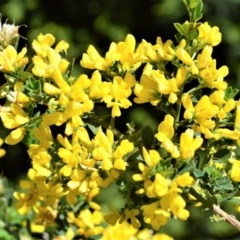 Genista monspessulana (Cape Broom, Montpellier Broom) at Wingecarribee Local Government Area - 2 Oct 2020 by plants