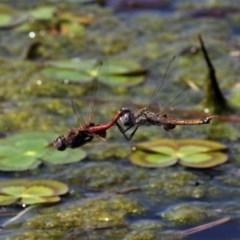 Tramea loewii (Common Glider) at Isabella Pond - 4 Oct 2020 by HarveyPerkins
