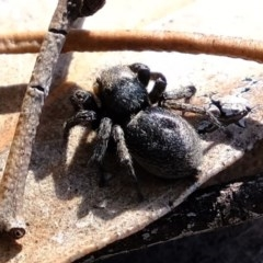 Unidentified Jumping & peacock spider (Salticidae) (TBC) at Melba, ACT - 4 Oct 2020 by Kurt
