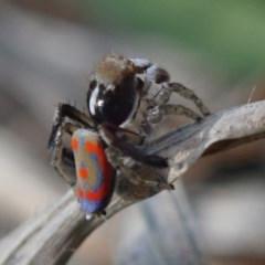 Maratus pavonis (Dunn's peacock spider) at Kuringa Woodlands - 4 Oct 2020 by Laserchemisty
