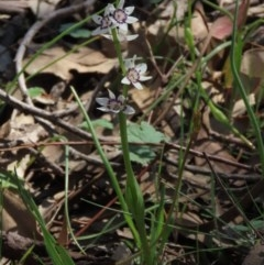 Wurmbea dioica subsp. dioica (Early Nancy) at Red Hill Nature Reserve - 4 Oct 2020 by AndrewZelnik
