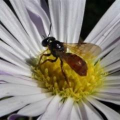 Exoneura sp. (genus) (A reed bee) at Namadgi National Park - 3 Oct 2020 by HarveyPerkins