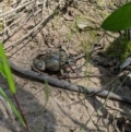 Limnodynastes tasmaniensis at Albury - 4 Oct 2020