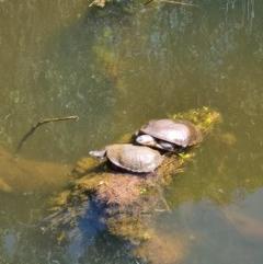 Chelodina longicollis (Eastern Long-neck Turtle) at Tidbinbilla Nature Reserve - 3 Oct 2020 by AaronClausen