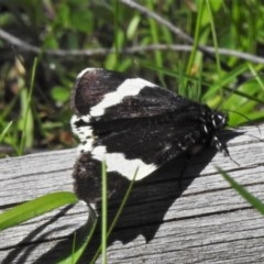 Eutrichopidia latinus (Yellow-banded Day-moth) at Coree, ACT - 1 Oct 2020 by JohnBundock