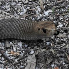 Pseudonaja textilis (Eastern Brown Snake) at Jedbinbilla - 4 Oct 2020 by JohnBundock